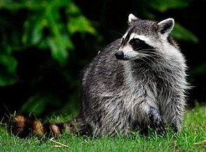 Raccoon, by Sam Greeenwood, Getty Images