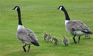 Canada Geese and Goslings, by Phil Inglis Getty Images