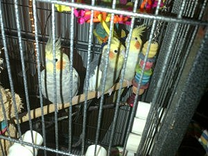 A cockatiel family