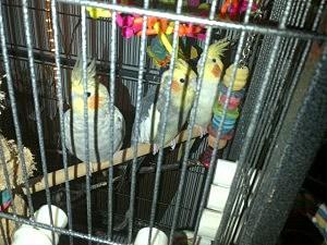 A cockatiel family